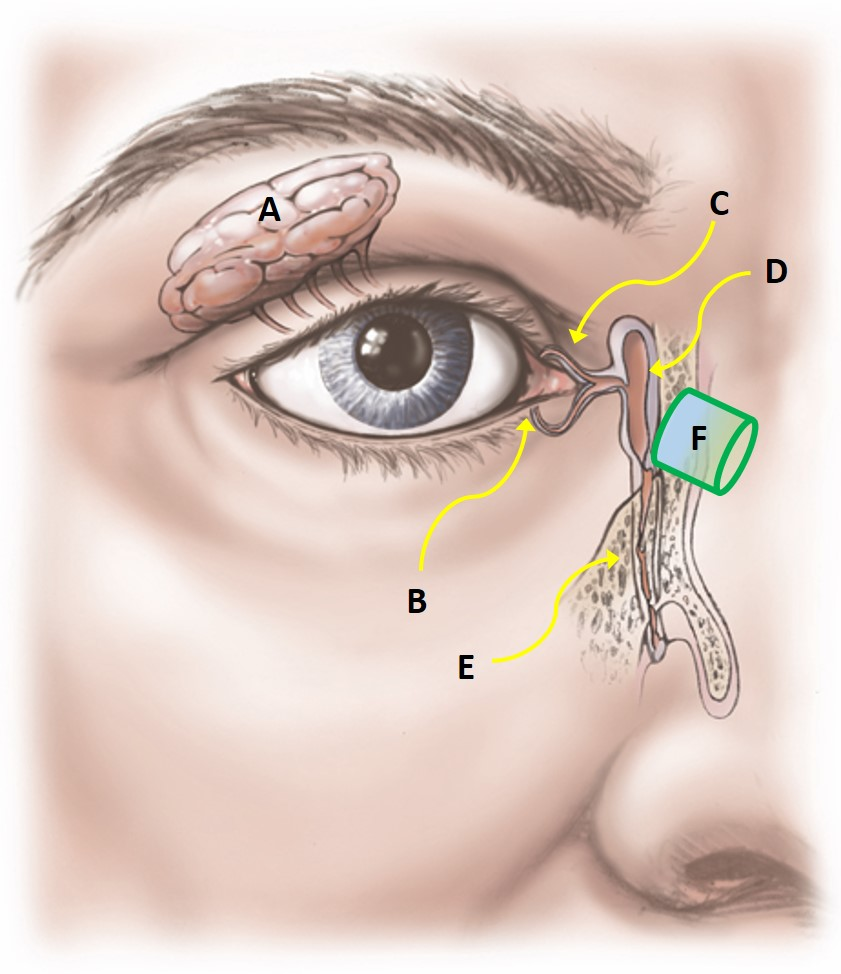 Lacrimal anatomy